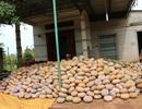"""Giá bí đỏ """"rớt thảm"""" còn 500 đồng/kg, nông dân không buồn thu hoạch"""