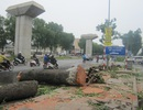 Hà Nội chặt hạ gần 30 cây xà cừ trên đường Láng - Bưởi