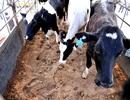 """Vinamilk nhập bò Úc để tăng """"cung"""" sữa tươi cho thị trường nội địa"""