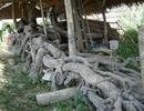 Bộ rễ cây mù u cổ thụ có hình thù độc đáo