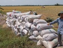 """Giá lúa bất ngờ giảm sâu, thương lái bỏ cọc, nông dân """"chết đứng"""""""