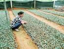 Quảng Long (Hải Hà): Doanh nghiệp hỗ trợ người dân trồng chè