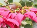 Những thú vị về chim vành khuyên