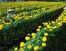 Làng hoa sông nước miền Tây nhộn nhịp mùa Tết