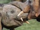 """Ngắm khoảnh khắc """"nụ hôn"""" của voi châu Phi"""