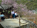 Sắc Xuân về trên vùng cao nguyên đá Đồng Văn