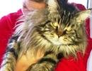 Chú mèo béo được kẻ trộm thả về vì quá phàm ăn