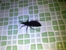 Thai phụ hoảng loạn vì bị bọ xít truyền bệnh chagas đốt