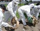 Cúm A/H5N1 tấn công đàn thủy cầm