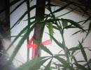 Trồng cần sa trên nóc nhà để lấy rễ… ngâm rượu