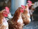 Những điều nên biết về chủng vi rút chết người H7N9