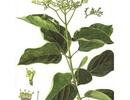 Phát hiện hoạt chất trong thảo dược giúp giải rượu