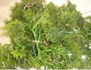 Hải tảo: Vị thuốc quý cho bệnh lý tuyến giáp