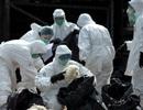 Trung Quốc: Báo động về chủng vi rút cúm gia cầm mới
