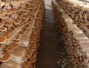 9/10 loại nấm mọc hoang là có độc tố