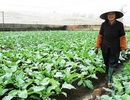 """Người trồng rau Tết lao đao vì giá cả """"lao dốc"""""""