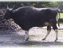 Đầu bò rừng bị vứt lại trong Vườn quốc gia Yok Đôn