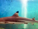 Khánh Hòa: Cá mập vây đen sinh 3 con