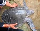 Rùa biển quý hiếm liên tục lạc vào đầm phá