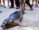 Ngư dân lại bắt được hải cẩu