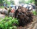 Mưa to, hàng loạt cây ở Hà Nội lại bị đổ