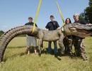 Săn được cá sấu to như khủng long ở Mississippi