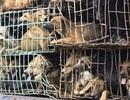 """Buôn lậu chó vào Việt Nam: Nghề mới cho """"mafia"""""""