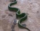 Thêm nhiều ca nhập viện do rắn lục đuôi đỏ cắn