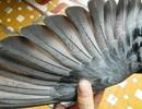 """Bắt được chim bồ câu lạ """"đóng"""" chữ Tàu trên cánh"""