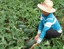 Khốn khổ người trồng dưa: Giá đã giảm, lại còn đội thêm phí!