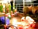 Quảng Nam: Xử nghiêm hành vi bơm nước vào gia súc