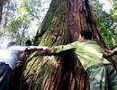 Kỷ lục hơn 1.200 cây Pơmu được công nhận là Cây Di sản