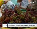 Độn đá vào nho Ninh Thuận, kiếm lợi chục triệu/tháng