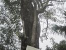 Thực hư câu chuyện rao bán cây sưa với giá 50 tỷ đồng