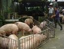 """Giá lợn """"sốt"""" vì Trung Quốc tăng mua"""