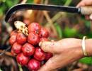 Bất thường thương lái Trung Quốc ồ ạt thu mua mầm thảo quả giá cao
