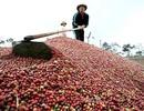 Trung Quốc hủy nhãn hiệu cà phê Buôn Ma Thuột