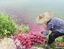 [Photo] Nông dân Trung Quốc đổ thanh long xuống ao nuôi cá vì ế