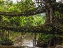 Những cây cầu rễ cây đáng kinh ngạc ở Ấn Độ