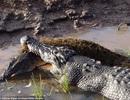 Kinh hoàng cá sấu khổng lồ ngấu nghiến ăn thịt, nuốt chửng đồng loại