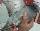 """Kết luận chính thức về chim bồ câu mang ký tự """"lạ"""""""