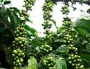 """Mưa đá liên tục """"oanh tạc"""", dân trồng cà phê ngồi trên lửa"""