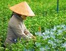 Đón Xuân trên cánh đồng hoa