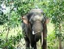 Đầu tư 74 tỷ đồng cho dự án bảo tồn voi