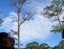 Hiểm họa từ một cây thông chết khô