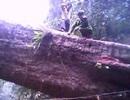 Truy lùng được kẻ đốn trộm cây gỗ lớn nhất huyện Lang Chánh