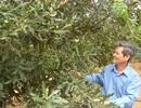 Thí điểm xây dựng mô hình trồng cây mắc ca ở Tây Bắc