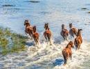 Chùm ảnh ngựa hoang đùa giỡn trên bãi biển