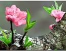 Ngất ngây ngắm hoa đào, mận Sa Pa nở muộn