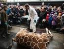 Vườn thú xẻ thịt hươu cao cổ cho sư tử trước đám đông